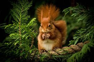 Картинки Белка Грызуны Рыжая животное