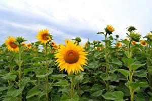 Фотографии Подсолнечник Поля цветок