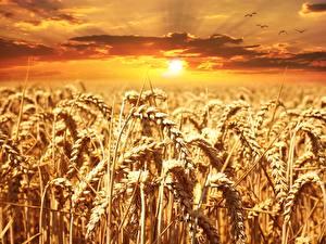Картинка Рассвет и закат Поля Пшеница Колосок