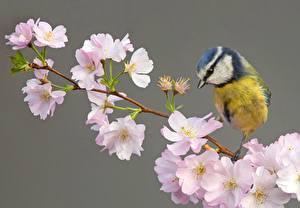 Обои Синица Птица Цветущие деревья Ветвь Сакуры животное Цветы