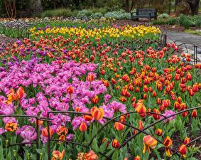 Обои Америка Сады Тюльпан Много Калифорнии Разноцветные Descanso Gardens цветок
