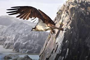 Картинки Птицы Рисованные Ястреб Полет Крылья Животные