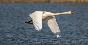 Обои Птица Лебеди Белый Летят животное