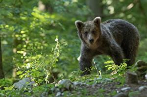 Фотографии Медведи Гризли Детеныши Взгляд Животные