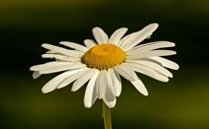 Фотографии Ромашка Крупным планом Боке Белые Цветы