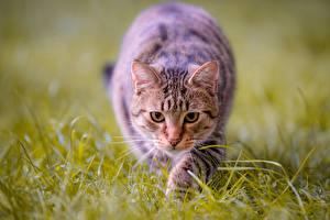 Фотография Кошка Взгляд Траве Охота