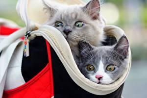 Фотография Кот Сумка Вдвоем Голова Морды Серый Смотрят Животные