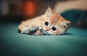 Фотографии Кошки Котенок Милый Лежачие Взгляд Животные