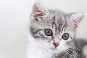 Картинка Кот Котят Смотрят Серый фон Морды Голова Животные