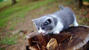 Картинка Кошка Котята Пень Боке