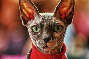 Обои Коты Сфинкс кошка Головы Морды Боке Смотрит животное