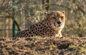 Фотография Гепарды Лежит Взгляд Боке животное