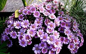 Картинка Цинерария Вблизи Фиолетовых Цветы