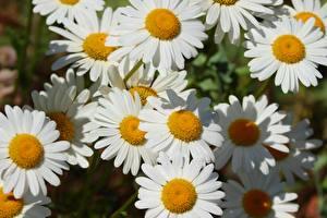 Картинки Вблизи Ромашки Белые цветок