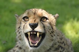 Фотография Крупным планом Гепарды Клыки Смотрит Оскал Голова животное