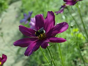 Картинка Вблизи Космея Шмели Боке Фиолетовая Цветы