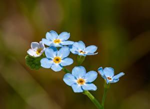 Обои Крупным планом Незабудка Размытый фон Голубых цветок