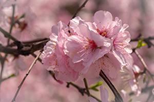 Обои Крупным планом Розовый Сакура Цветы картинки