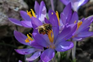 Обои Крокусы Пчелы Насекомые Вблизи Фиолетовая цветок