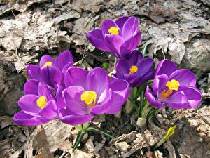 Фотография Крокусы Крупным планом Фиолетовых Цветы