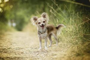 Картинки Собака Чихуахуа Смешные Боке Животные