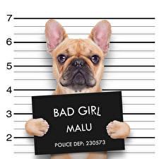 Фотография Собака Инглийские Текст Бульдог Смешной животное