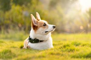 Обои Собака Траве Лежа Вельш-корги Размытый фон Животные