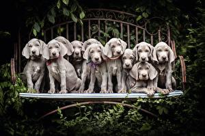 Обои Собаки Много Щенок Серый Веймаранер Животные картинки