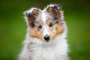Картинки Собаки Шелти шетландская овчарка Боке Щенков Взгляд животное