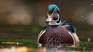 Картинка Утка Птица Вода Крупным планом Боке carolina duck Животные