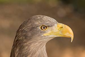 Картинки Орел Вблизи Птицы Голова Сбоку Боке Клюв животное