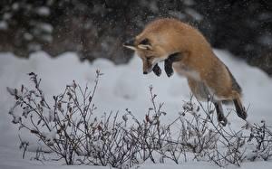 Картинка Лисица Зимние Снега Прыгать животное
