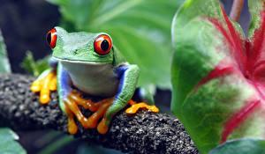 Картинки Лягушка Глаза Размытый фон red-eyed treefrog Животные