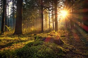Фотография Германия Лес Утро Деревья Мох Лучи света Солнце Lower Saxony, Börsteler Wald