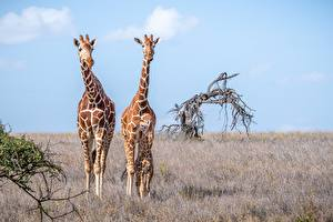 Обои для рабочего стола Жираф Детеныши Втроем животное
