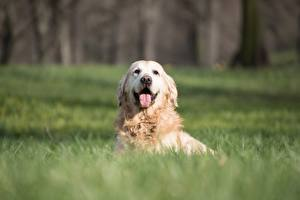 Фотографии Золотистый ретривер Собака Трава Лежа Боке Языком Смотрит животное