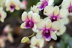 Фотографии Орхидея Крупным планом Боке