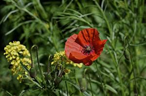 Картинка Мак Красная Бутон Траве цветок