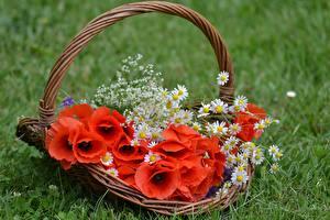 Картинки Маки Корзины цветок