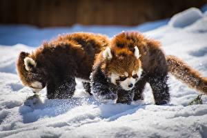 Картинка Малая панда Два Снег Животные
