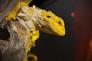 Картинка Рептилии Ящерица Головы Смотрит Bearded Dragon животное