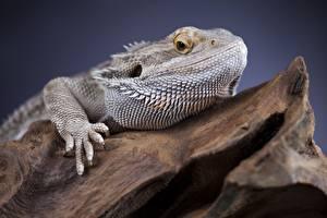 Обои Рептилии Игуана Головы Смотрит животное