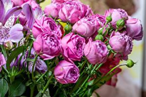 Фотографии Розы Альстрёмерия Фиолетовый Бутон