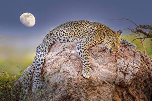 Фотография Камни Леопард Луна Лежа Животные