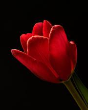Фото Тюльпаны Вблизи Черный фон Красный цветок