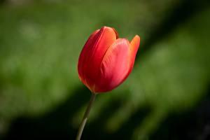 Картинка Тюльпан Вблизи Боке Красная Цветы