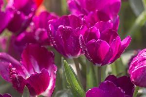 Картинка Тюльпаны Вблизи Фиолетовые Капельки Боке цветок