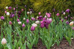 Обои Тюльпаны Много Фиолетовые Цветы