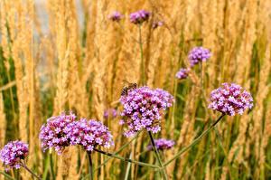 Картинка Вербена Пчелы Насекомые Размытый фон цветок