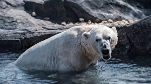 Фотография Вода Медведи Белые Медведи Мокрые Злость животное